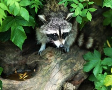 Before You Know it There's Dead Raccoon Outside Your Window